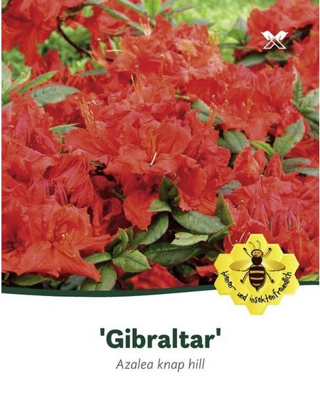 Azalee, Azalea knaphill »Gibraltar«, orange, Höhe: 40 - 50 cm