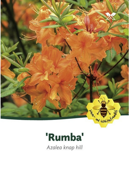 Azalee, Azalea luteum »Rumba«, orange, Höhe: 40 - 50 cm