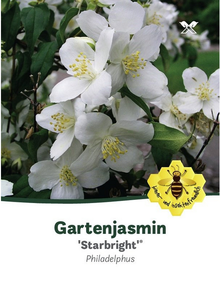 Bauernjasmin, Philadelphus »Starbright«, Blütenfarbe weiß
