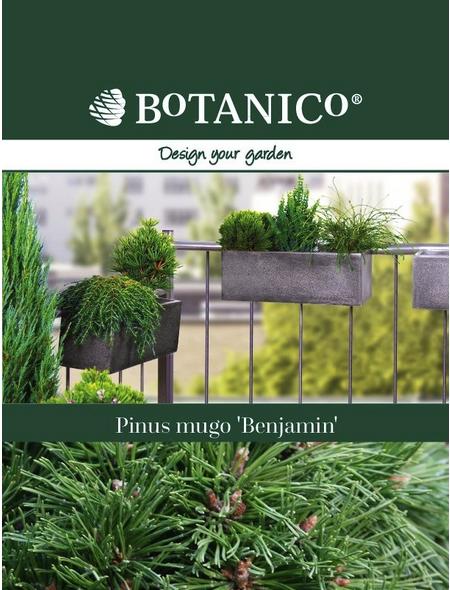 Bergkiefer mugo Pinus  »Benjamin«