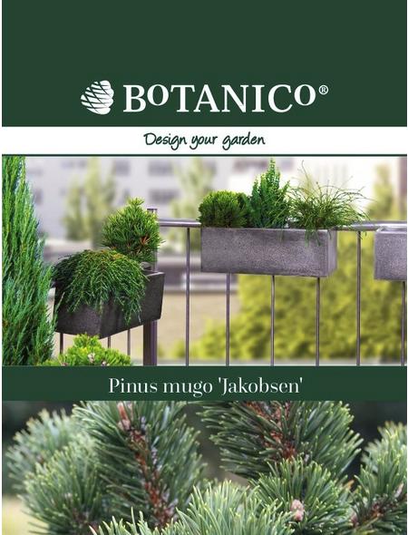Bergkiefer mugo Pinus »Jacobsen«
