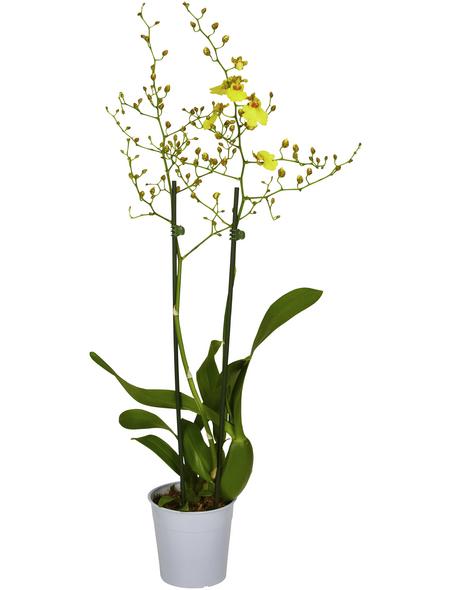GARTENKRONE Blühpflanze »Oncidie«,  aktuelle max. Pflanzenhöhe 50 cm , Topf-Ø 12 cm
