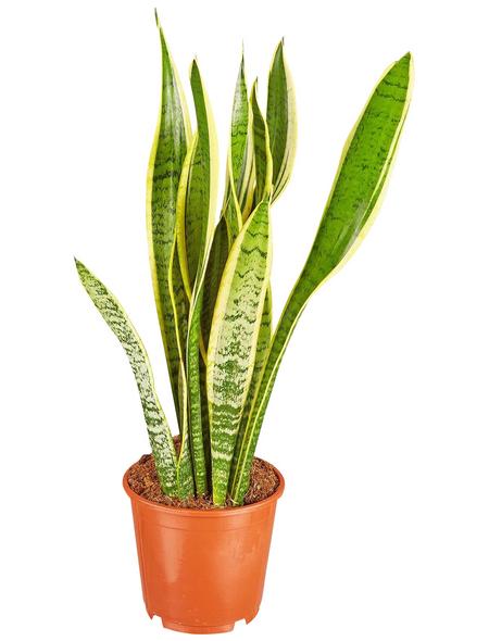 GARTENKRONE Bogenhanf Sanseveria hybrid 40 cm
