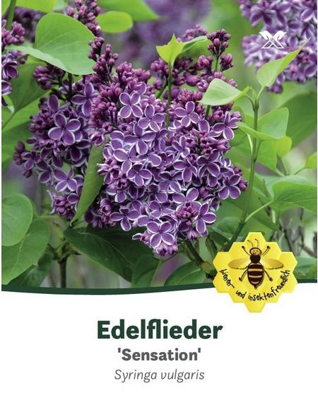 Flieder, Syringa vulgaris »Sensation«, Blütenfarbe violett
