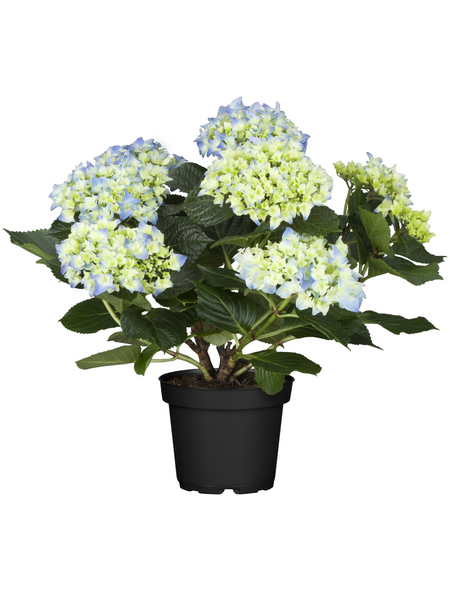 Hortensie macrophylla Hydrangea, Topf: 19 cm