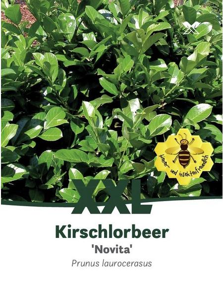 Kirschlorbeer, Prunus laurocerasus »Novita«, Blütenfarbe weiß