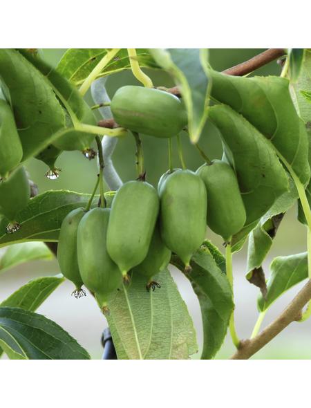 GARTENKRONE Kiwi, Actinidia arguta »Issai« Blüten: weiß, Früchte: grün, essbar