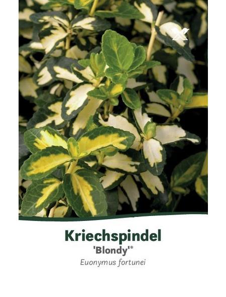 Kriechspindel, Euonymus fortunei »Blondy«, Blütenfarbe gelb