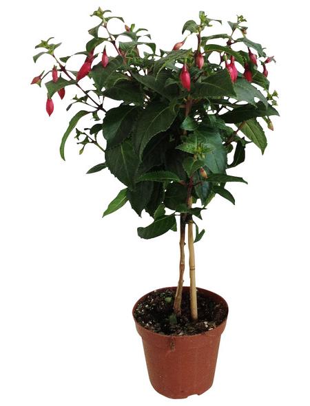 Kübelpflanze, Fuchsie
