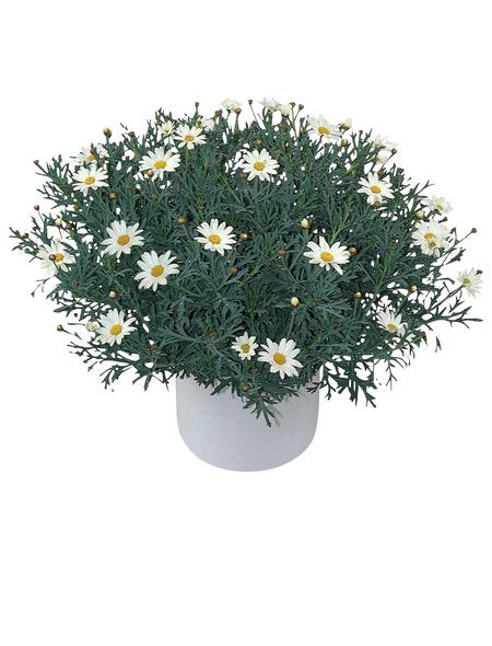Kübelpflanze, Margerite