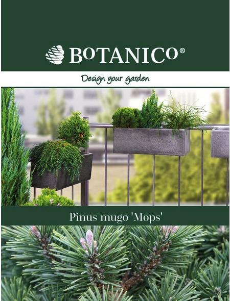 Kugel-Kiefer mugo Pinus »Mops«