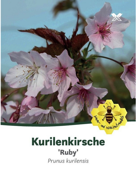 Kurilenkirsche, Prunus kurilensis »Ruby«, Blütenfarbe rosa