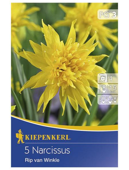 KIEPENKERL Narzisse minor Narcissus