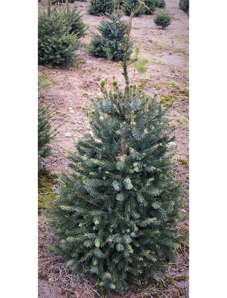 Serbische Fichte Picea omorika, im Topf, Höhe: 80 - 100 cm