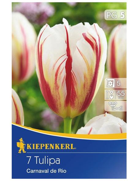 KIEPENKERL Tulpe Carnaval De Rio, Mehrfarbig, 7 Blumenzwiebeln