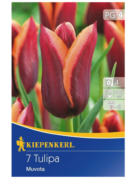 KIEPENKERL Tulpe Muvota, Mehrfarbig, 7 Blumenzwiebeln