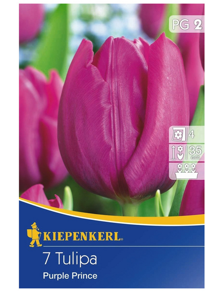 KIEPENKERL Tulpe Purple Prince, Lila, 7 Blumenzwiebeln