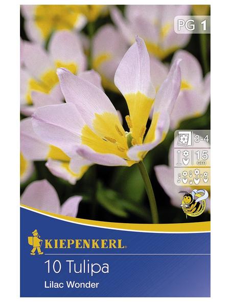 KIEPENKERL Tulpen bakeri Tulipa