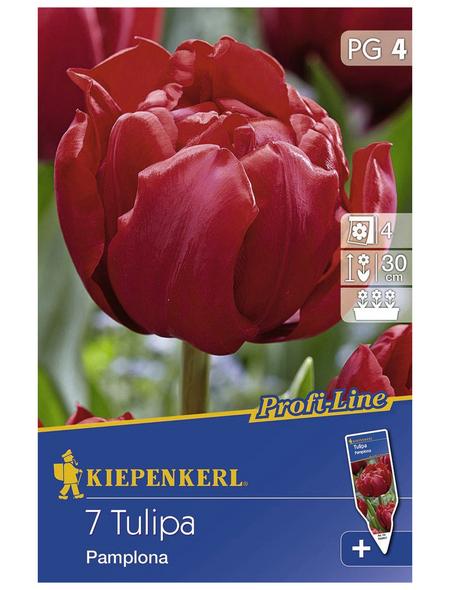KIEPENKERL Tulpen x Hybrida Tulipa