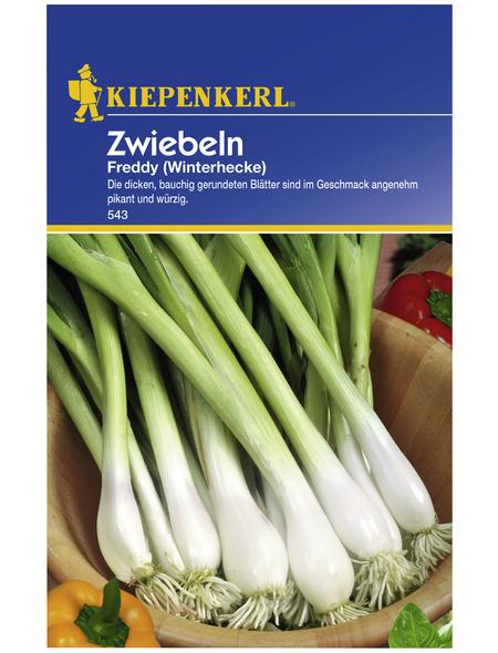 KIEPENKERL Zwiebel fistulosum Allium