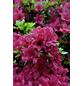 Azalee, Azalea japonica »Hachmann Collection«, bunt, Höhe: 20 - 25 cm-Thumbnail