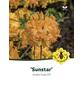 Azalee, Azalea knap hill »Sunstar«, gelb, Höhe: 40 - 50 cm-Thumbnail