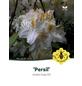 Azalee, Azalea knaphill »Persil«, weiß, Höhe: 40 - 50 cm-Thumbnail
