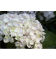 Ballhortensie macrophylla Hydrangea »Endless Summer The Bride«-Thumbnail