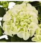 Bauernhortensie macrophylla Hydrangea »In Sorten«-Thumbnail