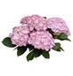 Bauernhortensie macrophylla Hydrangea  »Rendez-vous«-Thumbnail