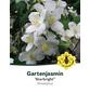 Bauernjasmin, Philadelphus »Starbright«, Blütenfarbe weiß-Thumbnail