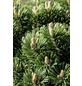 Bergkiefer mugo Pinus »Sherwood Compact«-Thumbnail