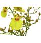 GARTENKRONE Blühpflanze »Oncidie«,  aktuelle max. Pflanzenhöhe 50 cm , Topf-Ø 12 cm-Thumbnail