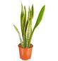 GARTENKRONE Bogenhanf Sanseveria hybrid 40 cm-Thumbnail