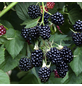 GARTENKRONE Brombeere Rubus fruticosus »Thornless Evergreen«-Thumbnail
