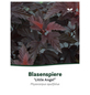 Fasanenspiere, Physocarpus opulifolius »Little Angel«, Blütenfarbe weiß-Thumbnail