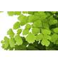 GARTENKRONE Frauenhaarfarn Adiantum raddianum 'Fragans'-Thumbnail