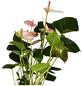 GARTENKRONE Große Flamingoblume Anthurium andraeanum 6 – 8 Blüten rosa Ø 14 cm-Thumbnail