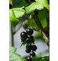 GARTENKRONE Johannisbeere, Ribes nigrum »Schwarz« Blüten: weiß, Früchte: schwarz, essbar-Thumbnail