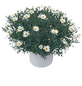 Kübelpflanze, Margerite-Thumbnail