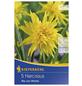 KIEPENKERL Narzisse minor Narcissus-Thumbnail