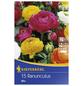 KIEPENKERL Ranunculus Aviv-Mix, 15 Stück-Thumbnail