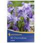 KIEPENKERL Schneeglanz luciliae Chionodoxa-Thumbnail