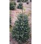 Serbische Fichte Picea omorika, im Topf, Höhe: 80 - 100 cm-Thumbnail