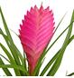 GARTENKRONE Tillandsie Tillandsia cyanea-Thumbnail