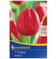 KIEPENKERL Tulpe Deshima, Rot, 7 Blumenzwiebeln-Thumbnail