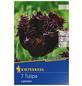 KIEPENKERL Tulpe Labrador, Schwarz, 7 Blumenzwiebeln-Thumbnail