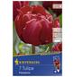 KIEPENKERL Tulpen x Hybrida Tulipa-Thumbnail