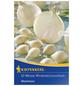 KIEPENKERL Wintersteckzwiebel Allium cepa »Silvermoon«-Thumbnail
