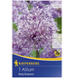 KIEPENKERL Zierlauch Allium Allium x Hybrida »Allium x Hybrida«-Thumbnail